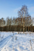 Birches in a snowy park — Stock Photo