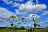 Heracleum sosnowsky — Stock Photo