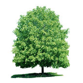 Isolated green chestnut tree — Stock Photo