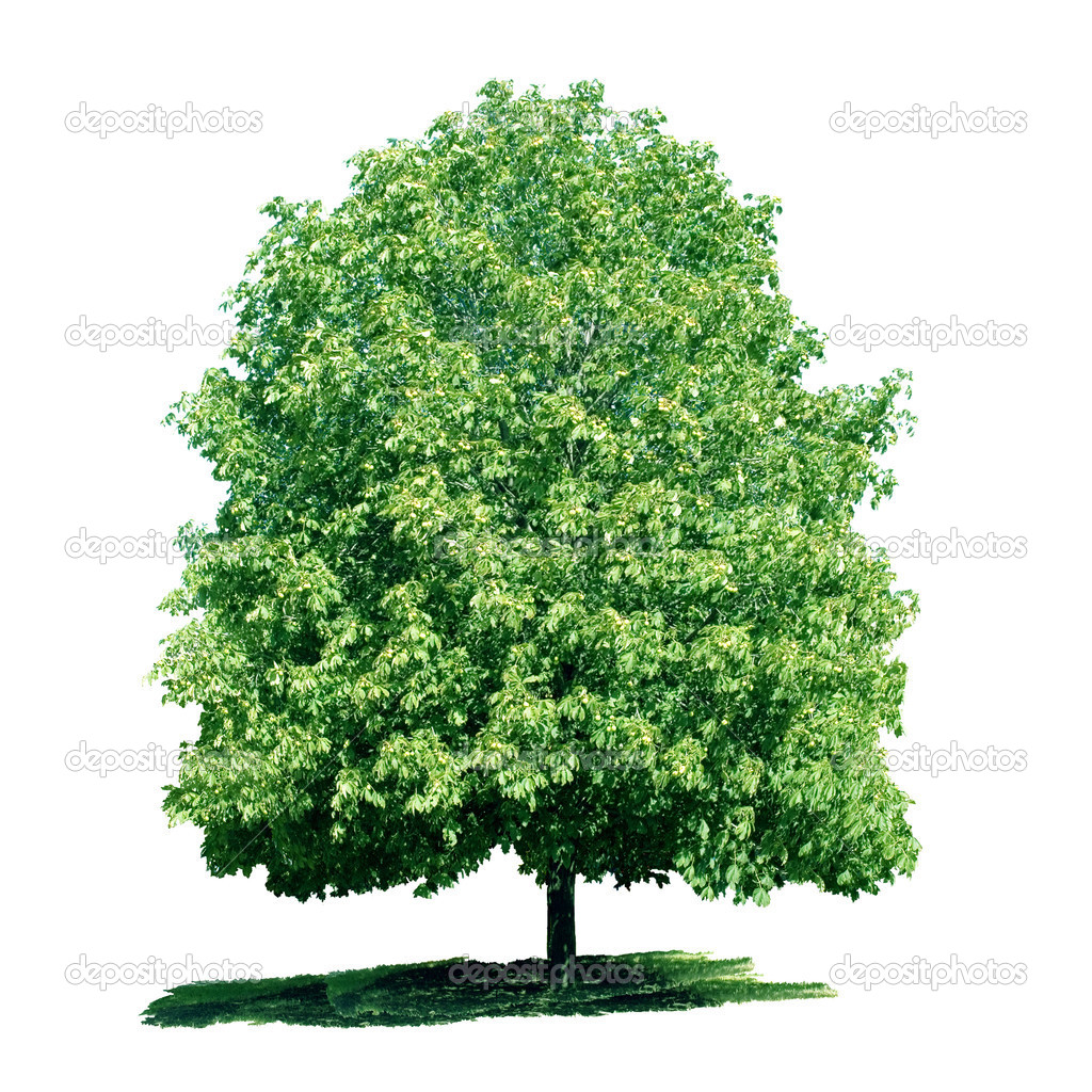 Isolated green chestnut tree on the white background. — Stock Photo #1143766