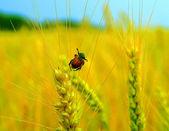 Bug on ear on yellow rye field. — Stock Photo