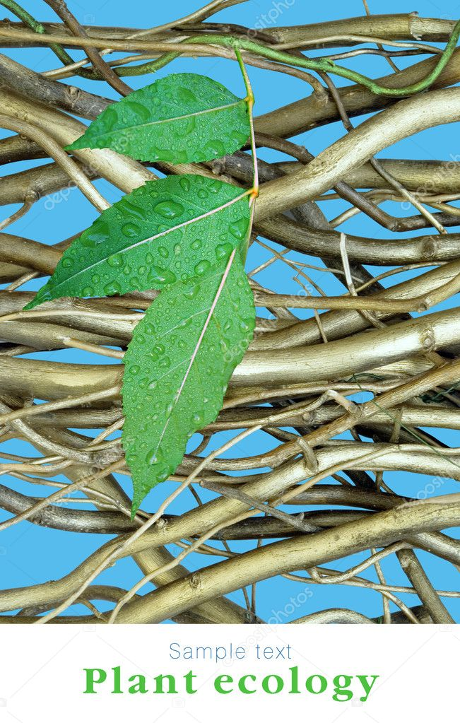 Dry branchs and one green branch on blue sky background. — Stock Photo #1321299