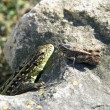 Royalty-Free Stock Photo: Lizard and grasshopper on rock