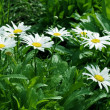 Stock Photo: Cultivated camomile flowers