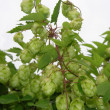 Stock Photo: Flowers and leaves of wild hop (Humulus