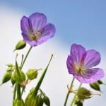 Cranesbill (Geranium) — Stock Photo #1174347