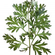 Common Wormwood (Artemisia absinthium) - Stock Photo