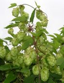 Flowers and leaves of wild hop (Humulus — Stock Photo