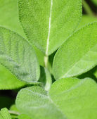 Sage leaves — Stock Photo