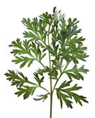 Common Wormwood (Artemisia absinthium) — Stock Photo