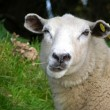 Stock Photo: Funny sheep