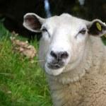 Funny sheep — Stock Photo