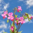 Himalayan balsam (Impatiens glandulifera — Stock Photo