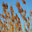 Reed — Stock Photo #1203973