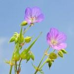 Cranesbill (Geranium) — Stock Photo #1204606