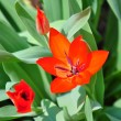 Tulip — Stock Photo #1204718