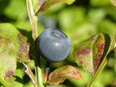 Bilberry with leaves — Stock Photo