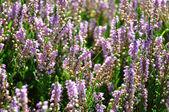 Heather (Calluna vulgaris) — Stock Photo
