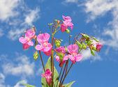 Himalayan balsam (Impatiens glandulifera — Stock Photo
