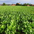 Field with sugar beet — Stock Photo #1709128