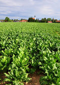 Field with sugar beet — Stock Photo