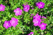 Crane's bill (Geranium) — Stock Photo