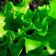 Lettuce — Stock Photo #1168119