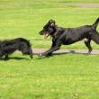 Stock Photo: Dogs running