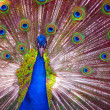 Peacock in Full Display - Zdjęcie stockowe