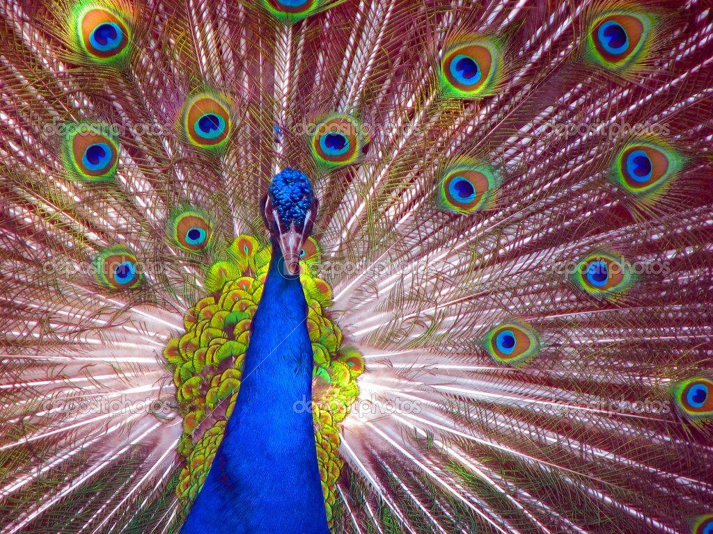 Peacock in Full Display blue green red yellow — Stock Photo #1174312