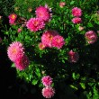 Many pink flowers — Stock Photo #1301700