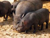 Black pigs — Stock Photo