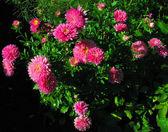 Muchas flores rosa — Foto de Stock