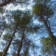 Stock Photo: Forest tree tops