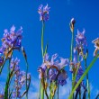 Blue iris and sky — Stock Photo