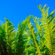 Stock Photo: Fern