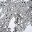 Royalty-Free Stock Photo: Snow branch