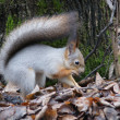 Stockfoto: Squirrel