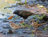 Starling och sparvar — Stockfoto