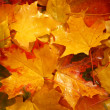 Royalty-Free Stock Photo: Autumn yellow maple leaves background