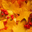 Ash berry clusters on autumn yellow mapl — 图库照片