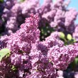 Lilac with leaves on a blue sky — Stock Photo
