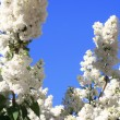White lilac with leaves - Stock Photo