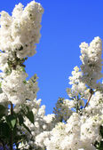 White lilac with leaves — Stock Photo