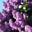 Lilac with leaves on a blue sky backgrou — Stock Photo