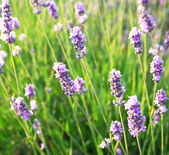Lavender flowers as background — Stock Photo