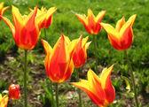 Turkey. Istanbul. Tulips — Stock Photo