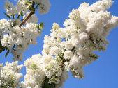 Lilas blancas en un cielo azul como fondo — Foto de Stock