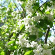 Blossom apple tree in spring — Stock Photo