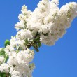 White lilac with leaves on a blue sky — Stock Photo